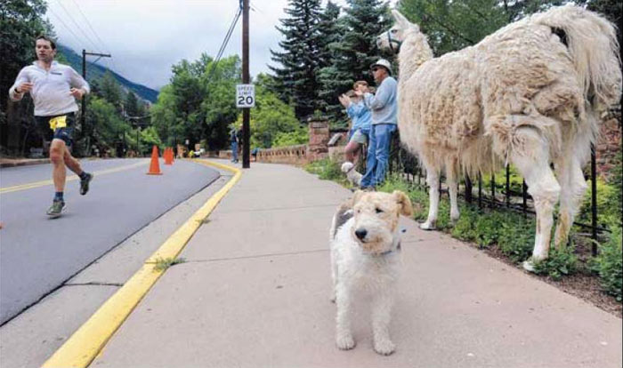 Alice the llama and Polly the dog watched Sunday as second-place finisher Dave Mackey neared the end of the Pikes Peak Marathon in Manitou Springs. The pets came with Manitou Springs residents Julie and Al Foster, background, and their other dog, Charlie. Matt Carpenter won the race for the ninth time.